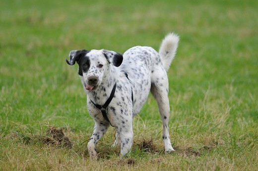 Male Dalmatian crossbreed, looking into the camera while digging a hole, snout and tongue covered with soil : Stock Photo
