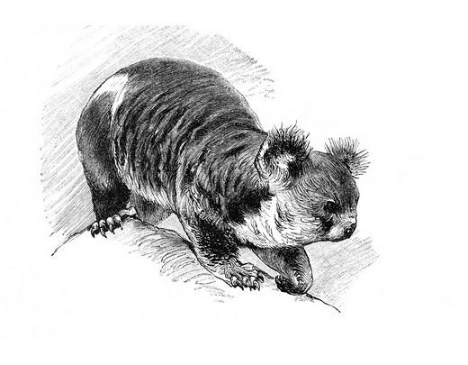 Woodcut, Koala Phascolarctos cinereus : Stock Photo