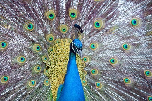 Stock Photo: 1848-258551 Peacock, Pavo cristatus