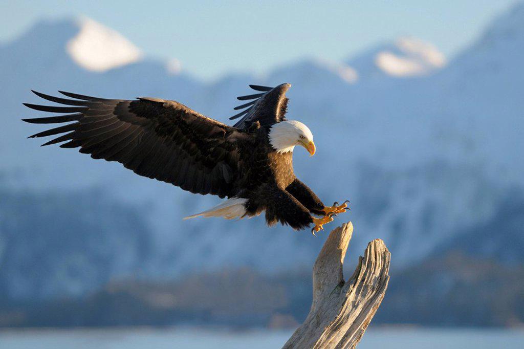 Stock Photo: 1848-259162 Bald Eagle Haliaeetus leucocephalus landing, mountain backdrop, Kachemak Bay State Park, Kenai Peninsula, Alaska, USA