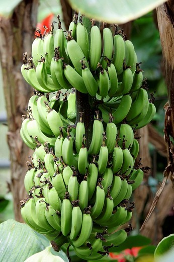 Stock Photo: 1848-259197 Bananas Musa paradisiaca, bunch on a tree