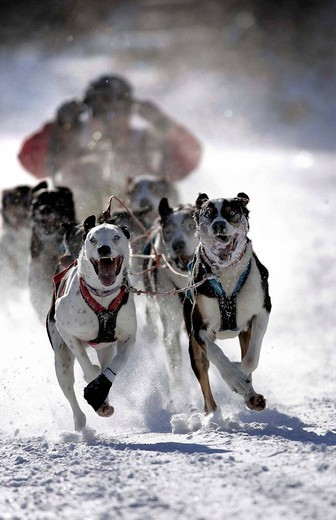 Sledge Dogs at the German Championship race, Todtmoos, Baden_Württemberg, Germany : Stock Photo