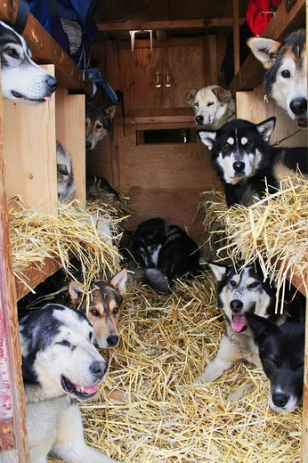 Sled dogs being transported in a truck, Muktuk Kennels, Yukon Territory, Canada : Stock Photo