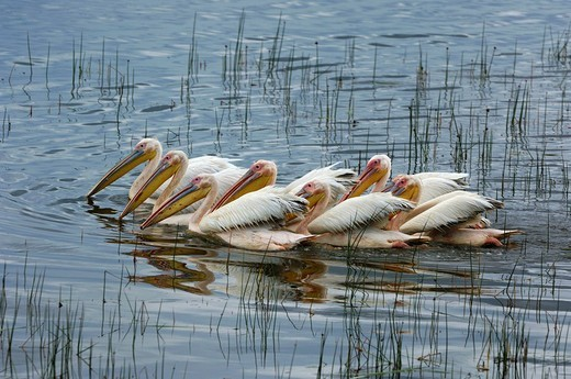 Group of White Pelicans Pelecanus onocrotalus hunting together for fish Lake Nakuru Kenya Africa : Stock Photo