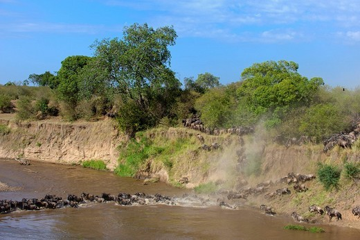 Blue Wildebeests Connochaetes taurinus crossing Mara River, Masai Mara National Reserve, Kenya, East Africa : Stock Photo