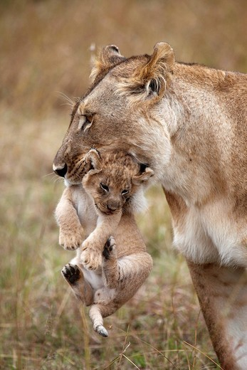 Lioness Panthera leo carrying a cub : Stock Photo