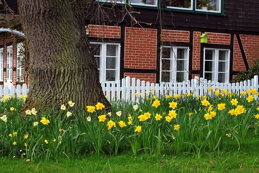 Spring garden with flowering daffodils Narcissus spec., an old English Oak Quercus robur, white picket fence and timbered house, Schleswig_Holstein, Germany : Stock Photo