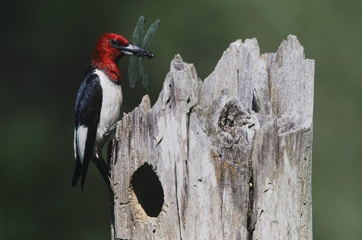 Stock Photo: 1848-263736 Red_headed Woodpecker Melanerpes erythrocephalus, adult with dragonfly prey at nesting cavity, Raleigh, Wake County, North Carolina, USA