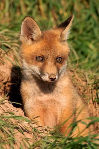 Red Fox Vulpes vulpes : Stock Photo