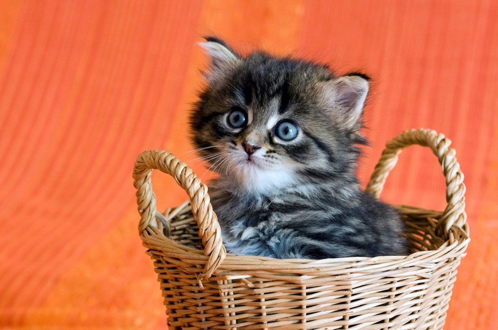 Stock Photo: 1848-265872 Domestic cat, kitten