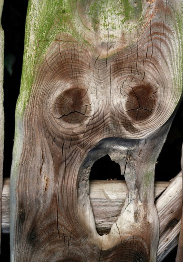 Wooden board with a face, The Scream, Edvard Munch, annual rings, ghost, alien, fear : Stock Photo