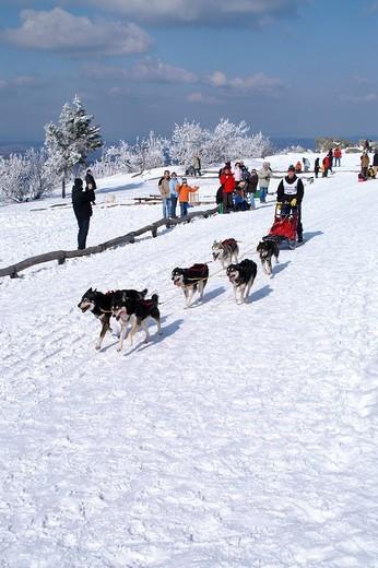 Dog sleigh race with huskies, Taunus, Hesse, Germany : Stock Photo