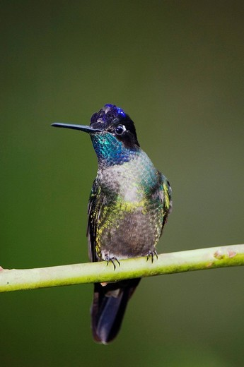 Magnificent Hummingbird Eugenes fulgens, male perched, Central Valley, Costa Rica, Central America : Stock Photo