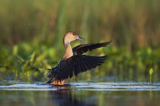 Fulvous Whistling_Duck Dendrocygna bicolor, adult flapping wings in wetland, Sinton, Corpus Christi, Texas Coast, USA : Stock Photo