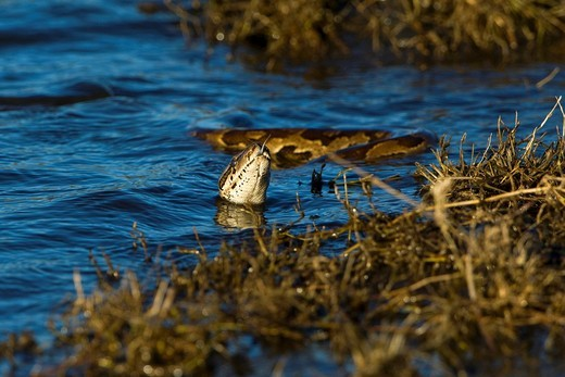 Stock Photo: 1848-267845 Natal Rock Python Python natalensis, swimming in the Chobe River, Chobe National Park, Botswana, Africa