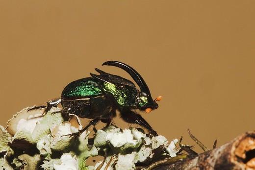 Rainbow Scarab Phanaeus vindex, adult male, Sinton, Corpus Christi, Coastal Bend, Texas, USA : Stock Photo