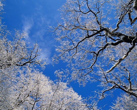 Stock Photo: 1848-269026 View upwards into snow_covered treetops, North Rhine_Westphalia, Germany, Europe