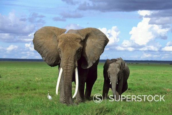 African Elephant with young, Amboseli, Kenya, Africa : Stock Photo