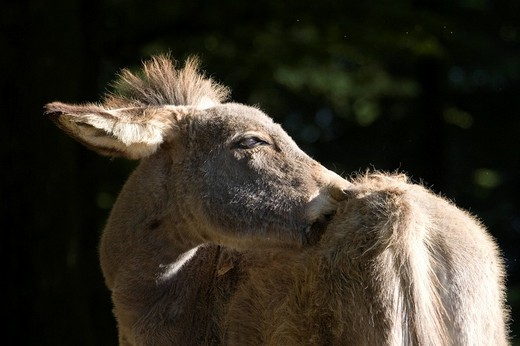 Thuringian Donkey scratching itself, Zoo, Daun, Vulkaneifel, Germany, Europe : Stock Photo