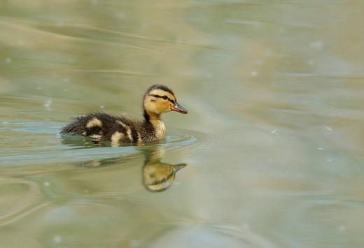Mallard Duck Anas platyrhynchos chick : Stock Photo