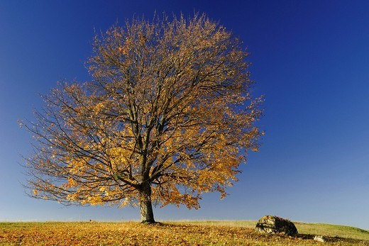 Field Maple Acer campestre with autumn foliage : Stock Photo