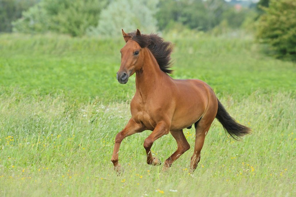 Stock Photo: 1848-31327 Paso Fino horse galloping in a meadow