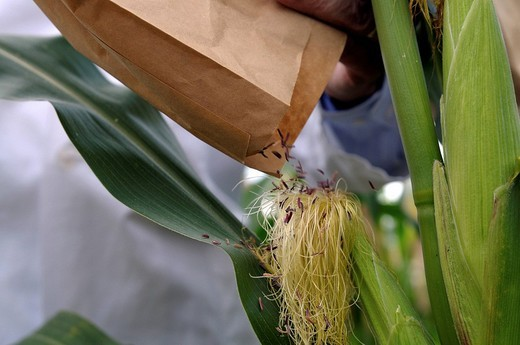 Prof. Dr. Melchinger, hybrid research, distributing collected pollen on female flowers on the experimental corn field at the University of Hohenheim, Baden_Wuerttemberg, Germany, Europe : Stock Photo
