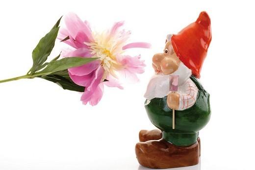 Stock Photo: 1848-32199 Garden gnome with peony