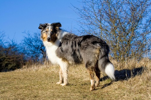 Stock Photo: 1848-32346 Blue Merle American Collie