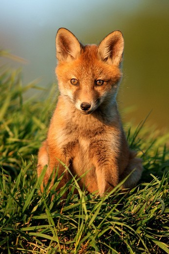 Red Fox Vulpes vulpes : Stock Photo