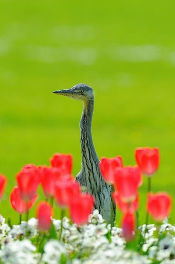 Grey Heron Ardea cinerea : Stock Photo