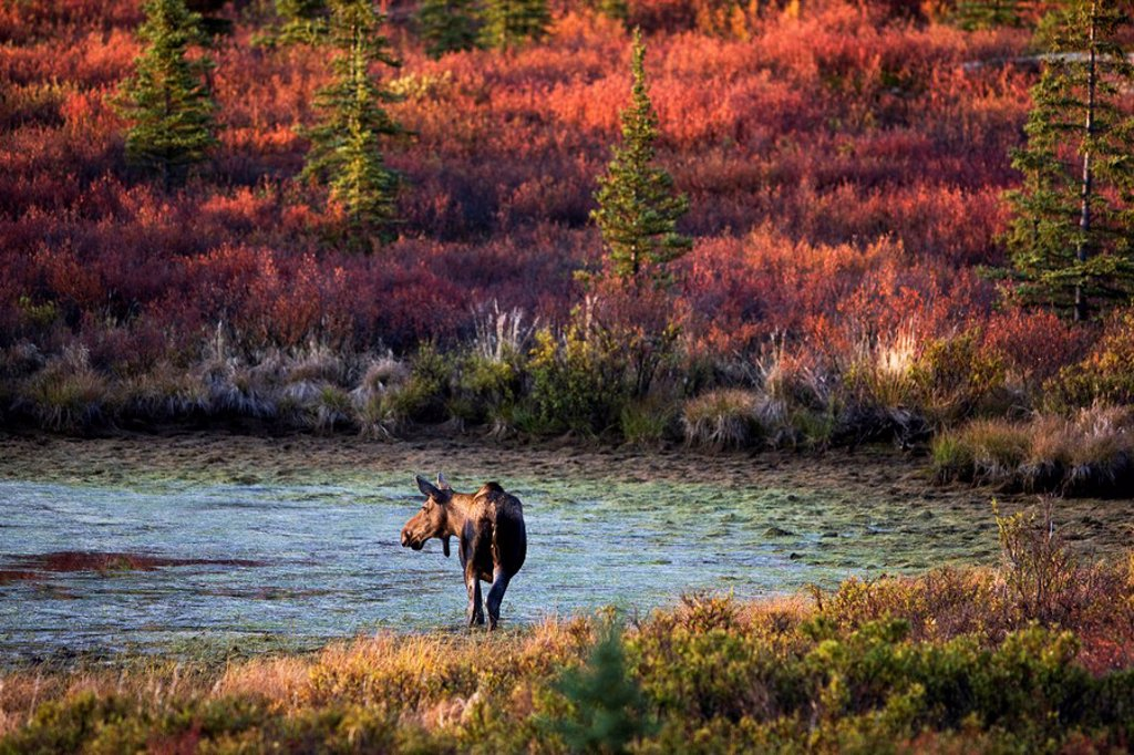 Moose Alces alces in Denali National Park and Preserve in autumn, Alaska, USA, North America : Stock Photo