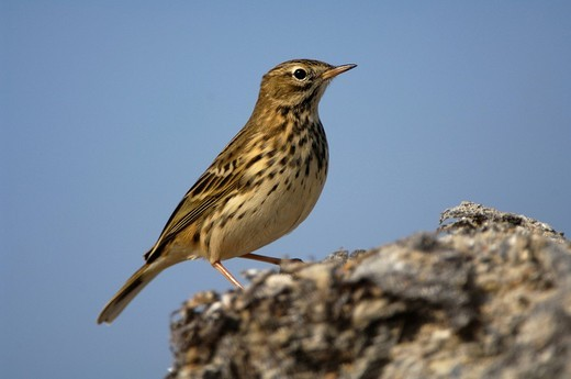 Meadow pipit Anthus pratensis : Stock Photo