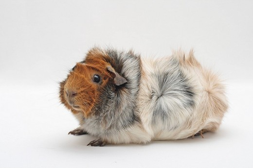Abyssinian guinea pig, sitting sideways : Stock Photo