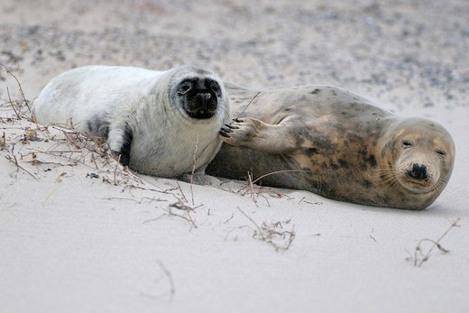 Grey Seal Halichoerus grypus, female with young which is some weeks old and starting to change coat : Stock Photo