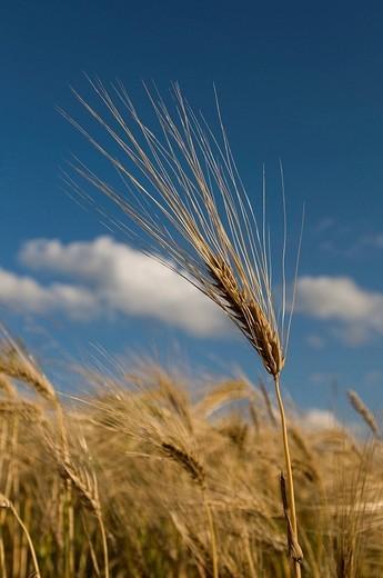 Barley field Hordeum vulgare : Stock Photo