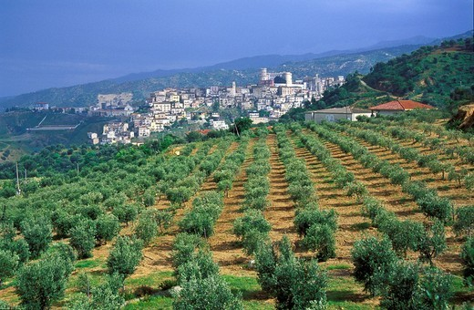 Olive grove at Corigliano Calabro, Calabria, Italy : Stock Photo