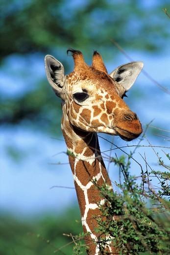 Somali Giraffe, Giraffa reticulata, Samburu NP, Kenya, Africa : Stock Photo