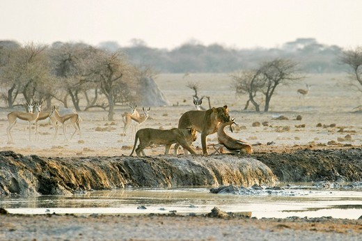 Stock Photo: 1848-38200 Hunting Lioness Panthera leo with cups an a killed springbok Antidorcas marsupialis, Nxai Pan, Makgadikgadi Pans National Park, Botswana, Africa