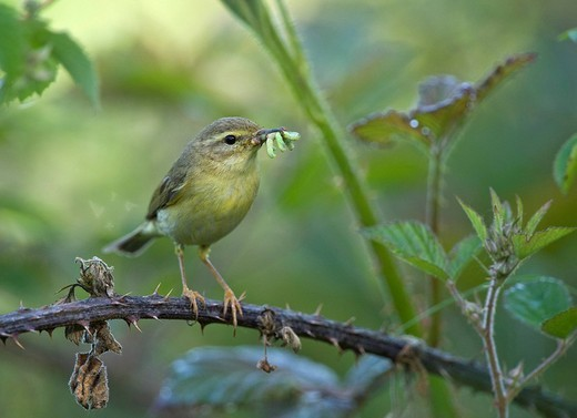 Willow Warbler Phylloscopus trochilus : Stock Photo