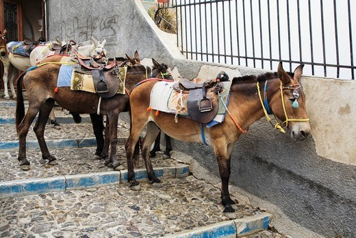 Saddled mules, Fira, Santorini, Cyclades, Greece, Europe : Stock Photo