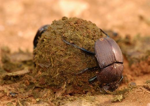 Dung Beetle Scarabaeus rolling a ball of dung, Nyumba ya Mungu, Tanzania, Africa : Stock Photo