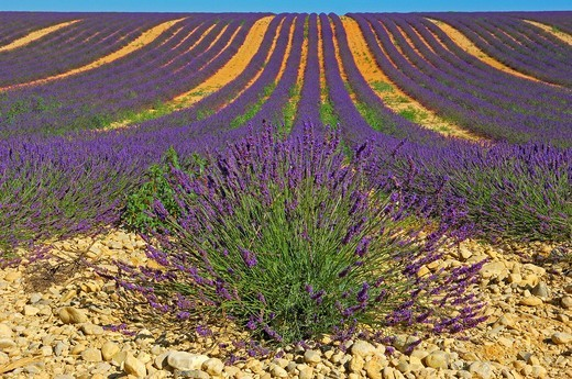 Stock Photo: 1848-401788 Lavender field at Plateau de Valensole, Alpes_de_Haute_Provence, Valensole, France, Europe