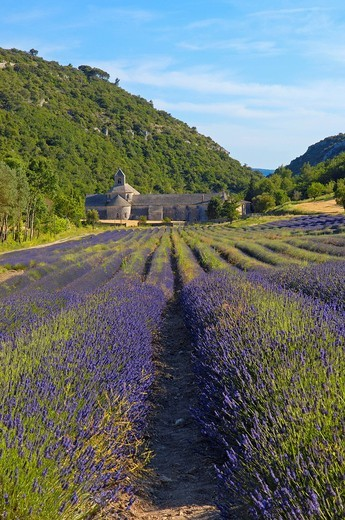 Stock Photo: 1848-401792 Lavender fields at Abbaye Notre_dame de Senanque, Senanque Abbey, Gordes, Provence, France, Europe