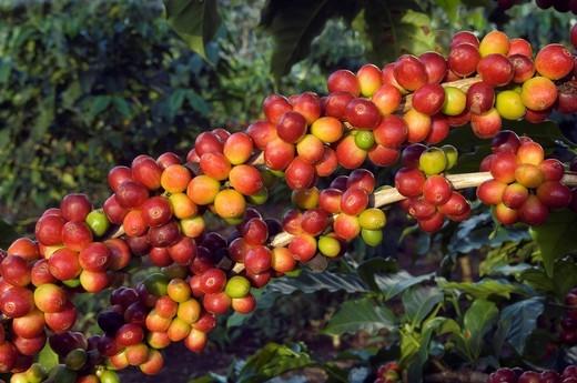 Branch with bright red ripe and green immature coffee berries Coffea arabica, Mwikai, Tanzania, Africa : Stock Photo
