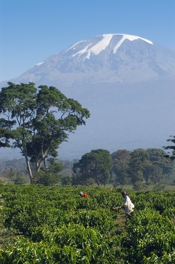 Stock Photo: 1848-403325 Woman weeding in a coffee plantation Coffea arabica, Kilimanjaro, Tanzania, East Africa, Africa