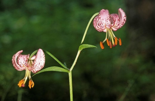 Martagon or Turk´s Cap Lily Lilium martagon : Stock Photo