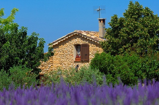 Lavender field and cottage at Plateau de Valensole, Alpes_de_Haute_Provence, Valensole, France, Europe : Stock Photo