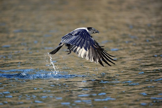 Stock Photo: 1848-403961 Hooded Crow Corvus corone cornix, hunting for fish above the water surface