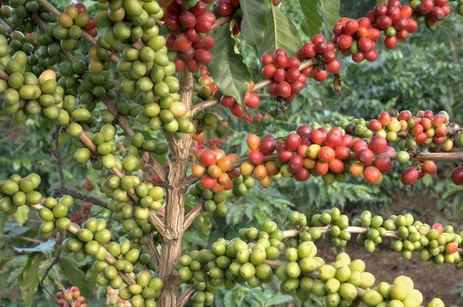 Stock Photo: 1848-404292 Shrub with bright red ripe and green immature coffee berries Coffea arabica, Mwikai, Tanzania, Africa